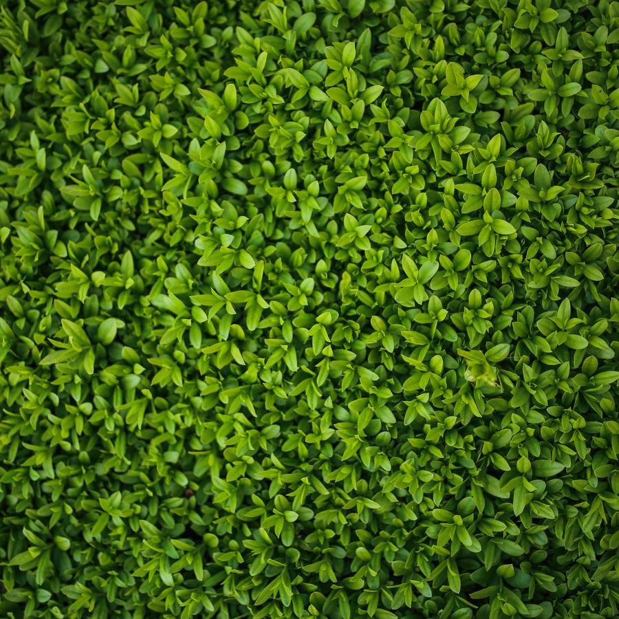 Green hedge leaves 5770